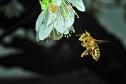 Biene im Anflug im Blütenstaubkleid