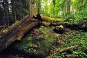 Totholz im Urwald